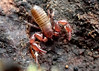 Pseudoscorpion (Bugldy99) Tags: animal arthropod arthropoda pseudoscorpion pseudoscorpiones pseudoscorpionida arachnid arachnida