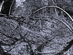 chaos in the jungle.... (friedrichfrank1966) Tags: chaos jungle bw einfarbig monochrome bäume rees wald mountains berge forest bachlauf pano panorama sigma 1224 nikon spring frühling