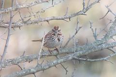 20170324 Song Sparrow (plumheadedfinch) Tags: birds passeriformes emberizidae melospiza melospizamelodia songsparrow pennsylvania month03march 2017 nature