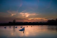 The original choreography of Swan Lake (Ingeborg Ruyken) Tags: 500pxs empel kanaalpark dawn dropbox ducks eenden flickr lucht maart march natuurfotografie ochted sky sunrise swamp swans water winter zonsopkomst zwanen