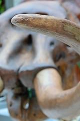 Mastodon Tusk (peterkelly) Tags: digital canon 6d burlington ontario canada bigfreeze rbg royalbotanicalgardens northamerica mastodon skeleton tusk iceage wisconsinan skull