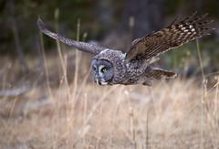 Great Grey Owl (Archie Richardson) Tags: greatgreyowl alberta