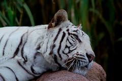 Tigre blanco (alejandroflores9) Tags: naturaleza tigreblanco felinos bigcats zoo
