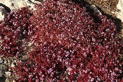 Azure Stonecrop (Sedum caeruleum) - Crassulaceae - Foresta 2000, Malta (Malta) (4)