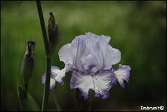 iris (imma.brunetti) Tags: firenze giardini iris gigli colori natura verde toscana stelo foglie petali primavera lilla