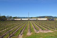 Emptied vineyard (caltrain927) Tags: nwp northwestern pacific railroad shortline railway emd mp15dc electromotivediesel mp15 loaded grain hopper hoppers tank car california ca wine vineyard napa valley schellville