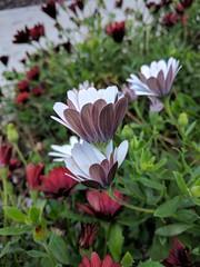 21,533 (joeginder) Tags: jrglongbeach osteospermum africandaisy flower