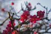 Winter Plum Branch (aeschylus18917) Tags: danielruyle aeschylus18917 danruyle druyle ダニエルルール japan 日本 flower 花 105mm nature blossoms plum winter prune tree flowers ウメ roseaceae prunusmume pxt spring
