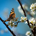 Painted Lady butterfly sipping nectar on a plum tree