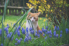 Herbie in the Grapes (cuppyuppycake) Tags: planting grape hyacinth ginger cat outdoors nature flowers garden spring yard