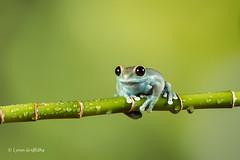Ruby-eyed Tree Frog D50_7989.jpg (Mobile Lynn) Tags: amphibian frog nature rubyeyedtreefrog captive fauna wildlife bournemouth england unitedkingdom gb coth specanimal greatphotographers coth5 ngc sunrays5 npc specanimalphotooftheday