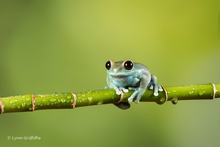 Ruby-eyed Tree Frog D50_7989.jpg