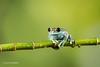 Ruby-eyed Tree Frog D50_7989.jpg (Mobile Lynn) Tags: amphibian frog nature rubyeyedtreefrog captive fauna wildlife bournemouth england unitedkingdom gb coth specanimal greatphotographers coth5 ngc sunrays5 npc specanimalphotooftheday greatestphotographers