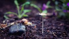 snail journey 1 of 3 (Tatterededges) Tags: creatures mushroom snail garden macrophotography outdoors littlelandscape
