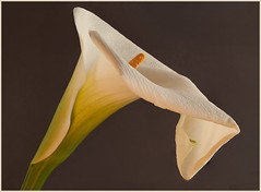 Calla_Lily_Portrait (joanallisonwheeler) Tags: red84 callalily horizontal portrait red