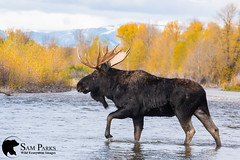 MO357 (Sam Parks Photography) Tags: alcesalcesshirasi gtnp gye grandtetonnationalpark greateryellowstoneecosystem jacksonhole nps northamerica parkservice river rockies rockymountains shirasmoose tetonrange usa unitedstatesofamerica wyoming animal antlers autumn biggame breedingseason cervic cervidae cervine cottonwoodtrees creek cross crossing fall fallcolor foliage ford fording habitat herbivore herbivorous hoof hoofedmammal hooved hooves lake large male mammal matingseason meadow nature pond rut rutting stream trophybull ungulate valley wade wading water wild wildlife woods