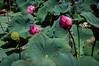 Fleurs de lotus dans la douve de la cité impériale de Hué (Turkian) Tags: kinhthànhhuế nelumbium pentaxricohimagingcompany ricohimagingcompany smcpentaxda1855mmf3556alwr asia asie citéimpériale eau exterior extérieur fleur flower hue imperialcity k3 lieu location lotus lotusdorient lotussacré nelumbonucifera pentax plant plantae plante saison season summer vietnam water été