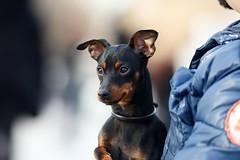 _V7A9219 (saitonrock) Tags: dog pinscher