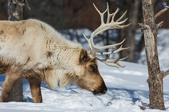 Renne / Reindeer (ALLAN .JR) Tags: nature wildlife écomusé renne cervidae