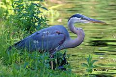 Great Blue Heron (Jersey Camera) Tags: heron greatblueheron wadingbirds