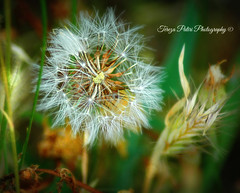 Dandelion dancing with Wall Barley (Terezaki ✈) Tags: travel light color green nature yellow closeup photography photo nikon day searchthebest dancing d70 details hellas athens dandelion greece pictureperfect anawesomeshot flickrdiamond wallbarley theperfectphotographer naturesfinestnatureselegantshots