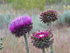 Thistles, National Bison Reserve, Moiese, Montana **EXPLORED** (teresue) Tags: montana mt bokeh thistles 2014 moiese nationalbisonreserve