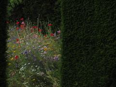 The secret garden (shaggy359) Tags: flowers blue red wild plant flower green yellow gardens garden purple secret gap royal surrey hedge poppy poppies yew glimpse society wisley rhs horticulural