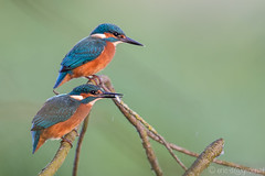 Kingfisher: Next Generation 2014 (eric-d at gmx.net) Tags: kingfisher alcedoatthis eisvogel