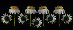 Reinventing Summer (njk1951) Tags: flowers photomanipulation garden coneflower onblack summerflower summergarden orangeconeflower summerplay blueconeflower reinventingsummer