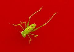 170/365: Grasshopper nymph (Stephen Little) Tags: grasshopper orthoptera animalia arthropoda insecta hexapoda caelifera minoltaaf100f28macro minolta100f28macro minolta100mmf28 minolta100mmf28macro minoltaaf100f28 minolta100f28 minoltaaf100mmf28 minoltaaf100mmf28macro sonya77 jstephenlittlejr slta77 sonyslta77 sonyslta77v sonyalphaslta77v minoltaaf100f28macro2581100 minoltaaf100mmf28macro2581100
