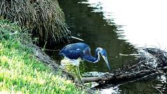Tri-colored Heron (Jim Mullhaupt) Tags: lake bird heron nature water river nikon stream flickr florida wildlife coolpix pont bradenton tricoloredheron wader p510 mullhaupt jimmullhaupt