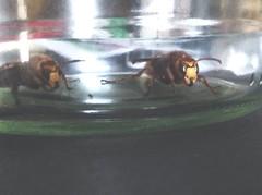 Some European hornets in our home (Vespo Crabro)