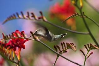 Hummingbird in the crocosmia