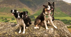Collie Nation (JJFET) Tags: dogs collie border bracken meggie sarda