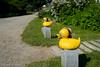 Rubber Ducks (Christine Anuszewski) Tags: maine ducks rubberducks monheganisland