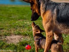 Leia y Kira (Arkaitz Morillo) Tags: pets dogs german perros kira 45mm shepard leia lumixgf2