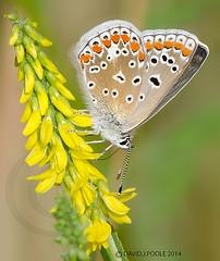 Common Blue Butterfly (Crazybittern1) Tags: butterflies insects commonblue sigma70300mmmacro lancashirewildlifetrust nikond7000 heyshamnatureresreve