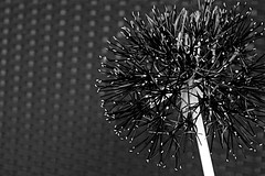 Infrared (b16dyr) Tags: flowers scotland flora houseplant glasgow powderpuff scadoxusmultiflorus
