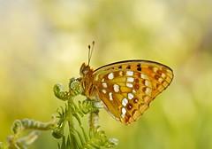 HIGH BROWN FRITILLARY (tony.cox27) Tags: brown high fritillary