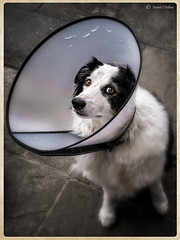 Sick as a Dog (Robots are Stupid) Tags: uk greatbritain england dog pet collie sad cone unitedkingdom britain vet sheepdog canine plastic ill harvey round doggy bordercollie collar operation sick radar satellitedish sympathy sadeyes dogcollar colliedog farmdog workingdog unwell saddog x100 sickdog vetinary skydish unhappydog plasticcollar lampshadecollar fujifilmx100 fujix100 collieeyes daviddalley davidjdalley horribleharvey tclx100