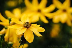 Gelb (nSonic) Tags: natur pflanzen gelb blume inzigkofen hsws2014inzigkofen klostergeister2014
