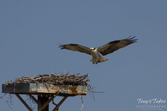 Osprey landing sequence - 4 of 14
