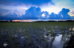 Paddy (Pulin Pegu) Tags: sunset india field clouds asia rice paddy dusk monsoon assam
