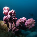 Giant sea tulip - Pyura spinifera