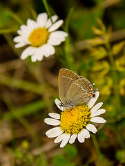 Kelebek (selcukozkan) Tags: nature animal animals butterfly photography zoo photo nikon natur photograph daisy nikkor dx kelebek papatya hayvan hayvanlar doa nikkorlenses 18105mm savebeautifulearth d3100 nikond3100