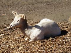 Young Alpaca (pat.bluey) Tags: light baby alpaca 1001nights wollongong helensburgh southcoastnsw coth specanimal flickraward symbiowildlifepark 1001nightsmagiccity