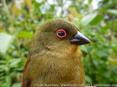 Abyssinian Crimsonwing (Cryptospiza salvadorii) (ebuechley) Tags: ethiopia oromia