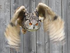 owl1-Edit