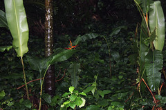 George Brown Darwin Botanic Gardens (betadecay2000) Tags: australia darwin australien northernterritory february2014onarainydaygeorgebrowndarwinbotanischergarten georgebrowndarwinbotanicgardensgeorgebrowndarwinbotanicgardens februar2014aneinenregenreichentagregenmonsunmonssonpflanzenurwald