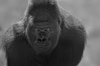 Kumbuka the Lowlands Silverback Gorilla